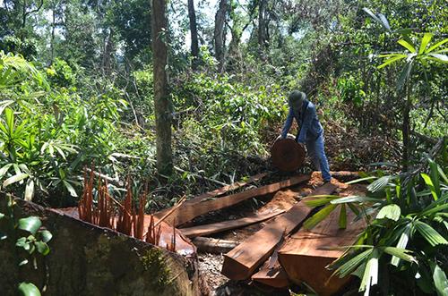 Hàng trăm phách gỗ chưa bị lâm tặc đưa ra khỏi rừng phòng hộ Tuyên Hoá. Ảnh minh hoạ: Hoàng Táo