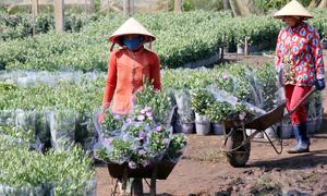 Trồng 100 nghìn chậu hoa Tết, lãi hơn 700 triệu đồng