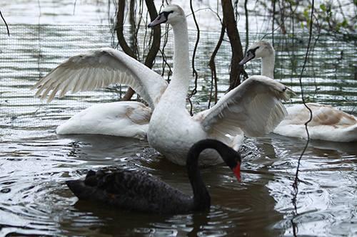 Khoảng 10 con thiên nga đen và trắng được thả thử nghiệm ở góc Hồ Gươm. Ảnh: Võ Hải