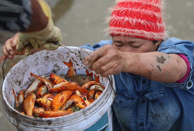 Làng cá chép đỏ hối hả thu hoạch trước Tết Công Táo