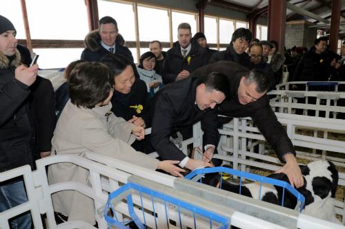 Các đại biểu thăm chú bê Gmilk - chú bê đầu tiên chào đời ở trang trại bò sữa cao sản tại Volokolamsk.