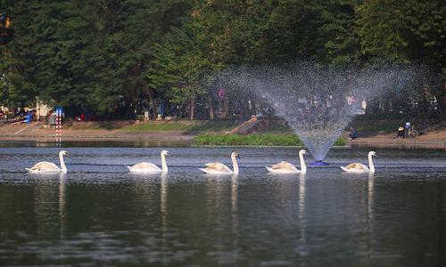 Người Hà Nội đến ngắm thiên nga bơi lội ở hồ Thiền Quang