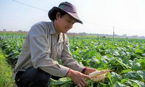 Nông trại 5,2 ha trồng rau sạch ven sông Đáy