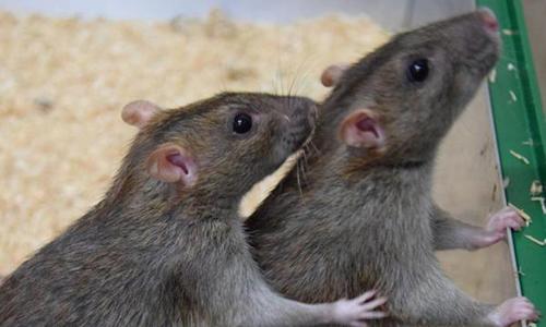 Chuột chải lông hộ đồng loại. Ảnh: UPI.