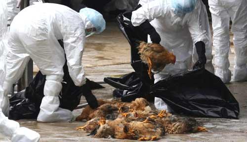 Gia cầm cùng phân của chúng bị cho là nguồn lây truyền H7N9. Ảnh: TH.