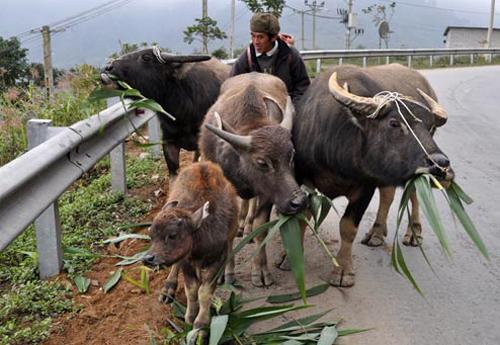Giá rét gây thiệt hại cho đàn gia súc của người dân miền núi phía Bắc. Ảnh: CTV.