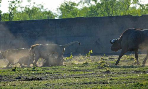 Trâu rừng tìm cách giải thoát cho linh dương đầu bò khỏi đàn sư tử. Ảnh:Latest Sightings.