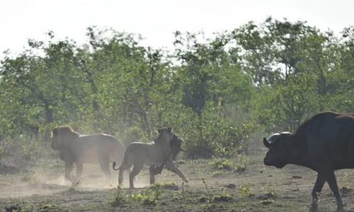 Trâu lao vào cứu linh dương thoát bầy sư tử