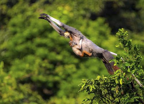 Hơn 10 năm gắn bó với Sơn Trà, anh Tuấn đang sở hữu cả kho ảnh đẹp về voọc chà vá chân nâu và các động vật quý hiếm khác. Ảnh: Bùi Văn Tuấn.