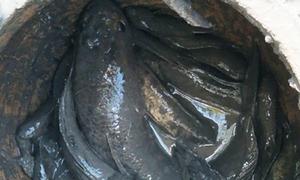 Đặt lu dưới bùn bắt cá lóc ăn Tết ở miền Tây