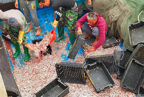 Trung bình mỗi tàu của ngư dân đánh bắt được 3-6 tấn cá cơm. Ảnh: Đ.H