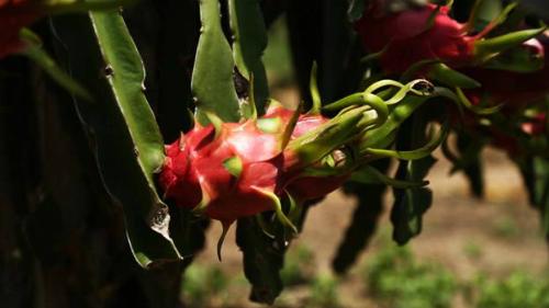 Từ cây hoang dã, thanh long đã trở thành cây trồng hàng hóa thay đổi bộ mặt kinh tế nông thôn Bình Thuận nửa thế kỷ qua.