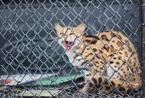 Cá thể mèo rừng quý hiếm vừa được nhà chức trách Hà Tĩnh thả về tự nhiên. Ảnh: Đ.H