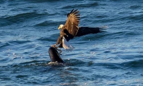 Sư tử biển để vuột mất cá mút đá vào vuốt đại bàng. Ảnh: Frank Coster.