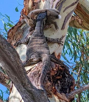 Nhông dài hai mét leo lên cây ngoạm thỏ trong nhà dân Australia