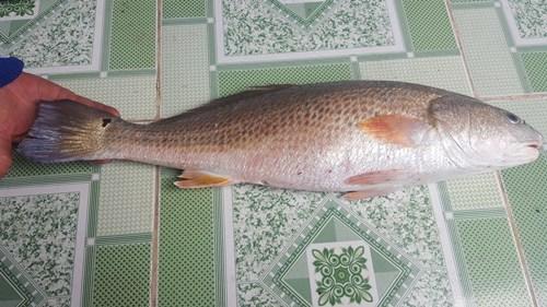 Con cá sủ vàng mà ông Thuyết đánh bắt được đã chết. Ảnh: Nguyễn Dực