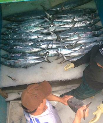 Các nhân viên trên tàu của anh Bình vận chuyển cá từ khoang lên bờ. Ảnh: Quốc Bình