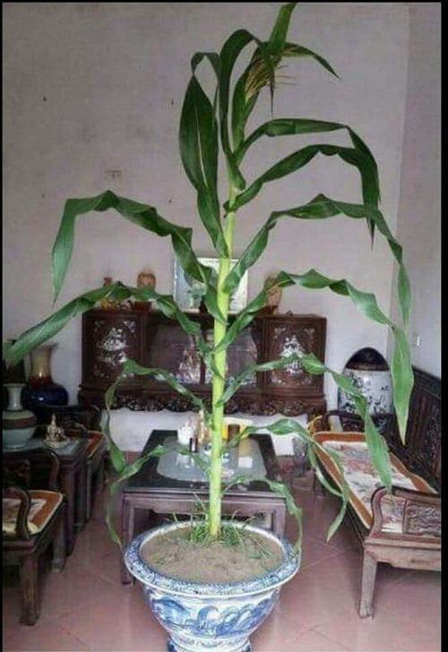 Cây cảnh cho cả năm làm ăn chắc như bắp, đều như bắp.