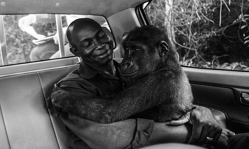 Khỉ đột Pikin ngồi trong vòng tay củaAppolinaire. Ảnh:Jo-Anne McArthur.