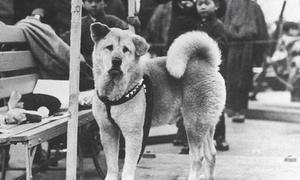 Học tiếng Anh: Hachiko - chú chó nổi tiếng nhất thế giới