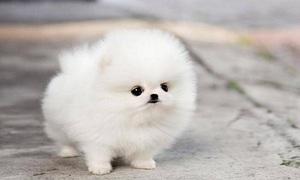 Giới trẻ Sài Gòn chi chục triệu mua chó Teacup
