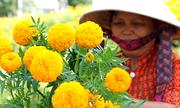 Thu lãi 150 triệu đồng nhờ trồng hoa vạn thọ bán dịp Tết
