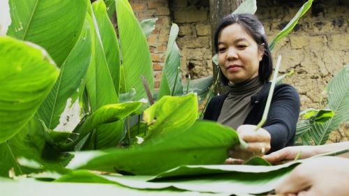 Ở thôn Miếu Thờ, xã Tiên Dược, Sóc Sơn, nhiều gia đình vẫn trồng vài bụi lá dong nếp để gói bánh chưng. Chị Trần Ngọc Hân đang lựa những lá dong thon dài, mỏng mướt, chứ không dày mình như lá dong tẻ.
