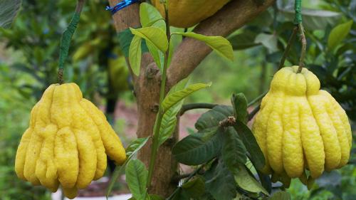 Quả Phật thủ (Citrus medica var. sarcodactylis) còn có tên gọi là Thanh yên, có nguồn gốc từ Ấn Độ. Theo Đông y, toàn bộ cành, lá, hoa, quả đều có thể sử dụng như vị thuốc có tính ấm, cay, đắng, ngọt giúp tiêu đờm, tiêu viêm, thông khí&