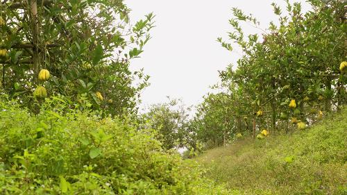 Xã Đắc Sở, huyện Hoài Đức, Hà Nội là một trong những nơitrồng Phật thủ nhiều nhất tại miền Bắc. Toàn huyện hiện có khoảng 250ha với hơn 500 hộ trồng.