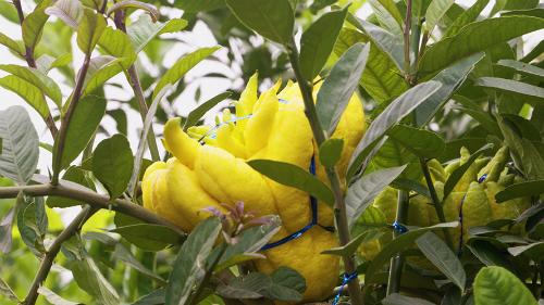 Quả phật thủ (Citrus medica var. sarcodactylis) còn có tên gọi là Thanh yên, được cho là có nguồn gốc từ Ấn Độ. Cây thuộc họ cam chanh, tìm thấy ở Trung Quốc, Nhật Bản, Malaysia& và vùng đồi núi phía Bắc nước ta.