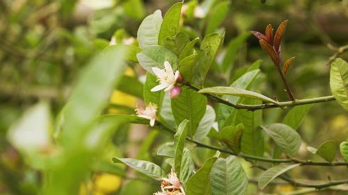Hoa Phật thủ thường ra thành nhiều đợt trong năm, có năm cánh như hoa chanh, màu trắng hơi tím, thường mọc thành cụm nơi đầu cành và tỏa mùi thơm đặc biệt.
