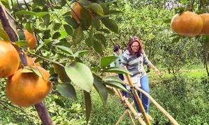Vườn quýt Lai Vung hút khách dịp cuối tuần