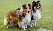 10 giống chó thông minh nhất thế giới