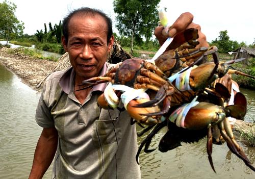 Nhiều nông dân nuôi cua biển ở Cà Mau phần khởi vì giá cua tăng mạnh trong những ngày Tết. Ảnh: Phúc Hưng.