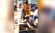 Khỉ con ôm chặt xác cố đánh thức mẹ chết vì điện giật