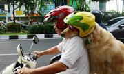 Được phép chở chó bằng xe máy?