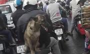 Những chú chó ngồi xe máy giỏi như người