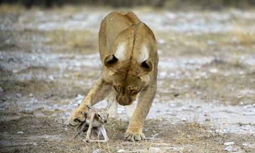 Con sư tử cái thậm chí bảo vệ linh dương trước đồng loại đói mồi. Ảnh: Caters.