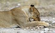 Sư tử cái mất con âu yếm chăm sóc linh dương