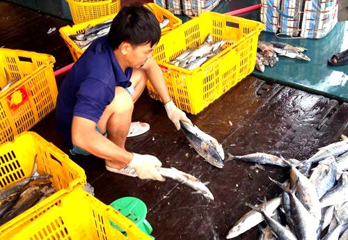 Phân loại hải sản khi tàu cập bến. Ảnh: Phúc Hưng.