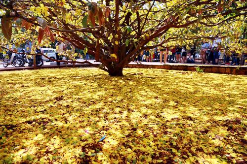 Hoa mai rơi xuống tạo thảm vàng óng ánh dưới gốc cây khiến nhiều người thích thú. Ảnh:Phước Tuấn.