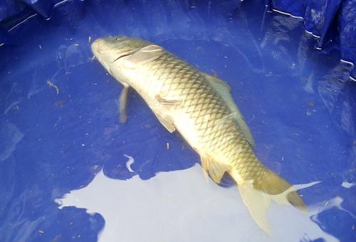 Con cá có dấu hiệu bị kiệt sức khi được nhốt tại hố nước quây bạt. Ảnh: Nguyễn Hải.