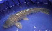 Bắt cá chép bị đồn là 'cá thần'