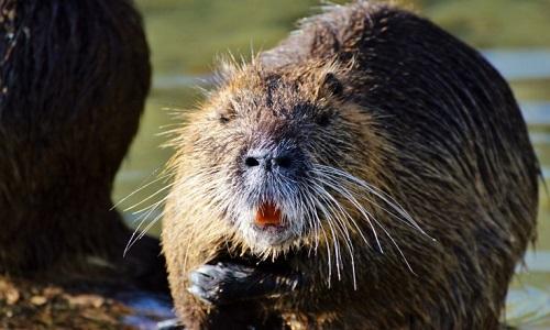 Chuột khổng lồ răng cam xâm chiếm California