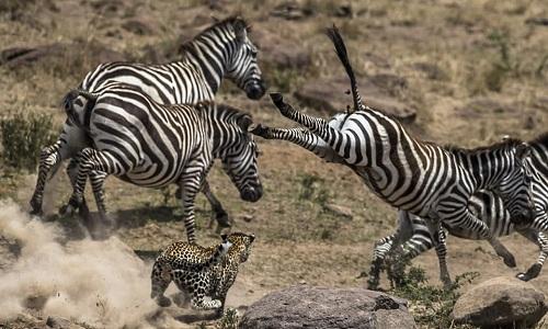 Báo đốm đói mồi hai lần đi săn thất bại