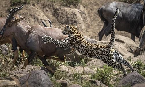 Báo đốm không đủ sức hạ gục linh dương nặng gấp ba lần. Ảnh:Paul Goldstein.