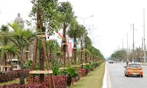 Hải Phòng nhập khẩu cây long não trồng trên đường hoa phượng