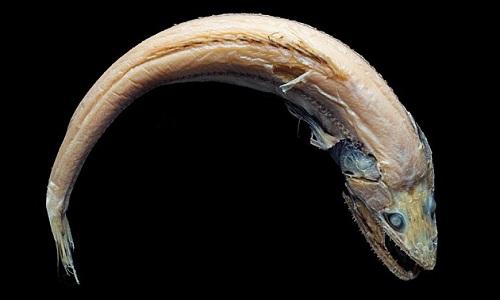 Những quái ngư dưới vực biển sâu 4.800 m ở Australia