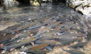 40.000 người đi xem suối cá thần ở xứ Thanh trong dịp Tết