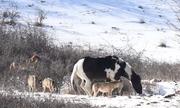 Ngựa nô đùa giữa đàn sói 6 con